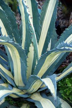 Agave americana medio-picta 'Alba' The magnificent 'Tuxedo Agave'. Smaller and slower growing than Agave americana. photo by Michael Buckner, The Plant Man, San Diego Agaves, Succulent Gardening, Planting Succulents, Planting Flowers, Cacti Garden, Succulent Planters, Succulent Arrangements, Indoor Gardening, Hanging Planters