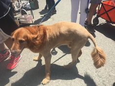 Meet SanFranSimba! Met this fierce boye at the Treasure Island Flea Market today! #dogpictures #dogs #aww #cuteanimals #dogsoftwitter #dog #cute
