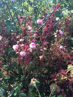 Rose Rosette Disease is becoming more widely seen. Some people blame The Knock Out Roses. l Paul Zimmerman l Fine Gardening Rose Diseases, Grandmas Garden, Fine Gardening, Coming Up Roses, Rosettes, Knock Knock, Backyard, Blame, Patio