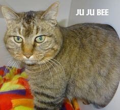 ADOPTED! Tag# 13452 Name is Ju Ju Bee Tabby  Female-unsure of spay Big girl, very friendly!  Located at 2396 W Genesee Street, Lapeer, Mi. For more information please call 810-667-0236. Adoption hrs M-F 9:30-12:00 & 12:30-4:15, Weds 9:30-12:00 & Sat 9:00-2:00  https://www.facebook.com/267166810020812/photos/a.969168029820683.1073742231.267166810020812/969168616487291/?type=3&theater