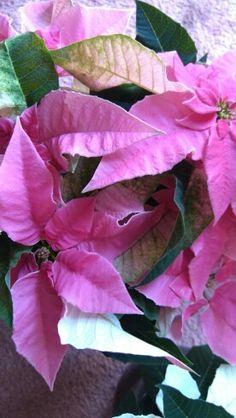 HOYA, s.o v Bratislava, Bratislavský kraj Bratislava, Poinsettia, Four Square, Rose, Flowers, Plants, Pink, Plant, Roses