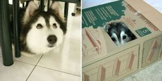 This Husky Raised By Cats Acts Like A Cat | Bored Panda