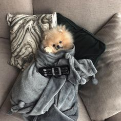 All the things I respect about the Playfull Pomeranian Puppy Discover Inquisitive Pomeranian Puppies Amazing cute Pomeranian Puppies Spitz Pomeranian, Cute Pomeranian, Pomeranians, Cute Baby Animals, Animals And Pets, Funny Animals, Cute Puppies, Cute Dogs, Pets