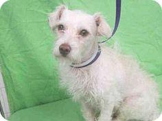 Gardena, CA - Terrier (Unknown Type, Medium) Mix. Meet A4811066, a dog for adoption. http://www.adoptapet.com/pet/12759757-gardena-california-terrier-unknown-type-medium-mix