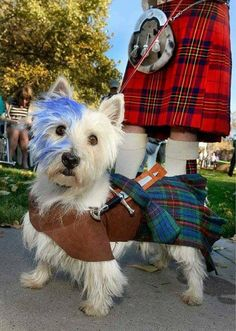 Handmade Braveheart/William Wallace costume for your Westie or Scottie Dog. Perfect for West Highland or Scottish Terriers at Halloween, Highland Games, or any other fun occasion. Westies, Braveheart Costume, Tartan, Plaid, Cute Puppies, Cute Dogs, West Highland White Terrier, Style Anglais, Dog Halloween