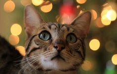 Todos los gatos tienen el poder de remover energía negativa acumulada en nuestro cuerpo día tras día. En cuanto dormimos, ellos absorben esa energía.