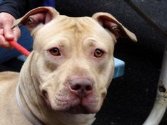 GONE RIP - 04/23/13 Manhattan Center  My name is RAPLH. My Animal ID # is A0962481. I am a male tan and white pit bull mix. The shelter thinks I am about 3 YEARS old. He's a good boy that has been dumped by his owner, and kicked to the curb by the ACC. He needs us tonight. Without us Ralph will die tomorrow.  https://www.facebook.com/photo.php?fbid=600041723342044=a.275017085844511.78596.152876678058553=1