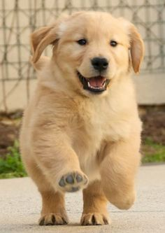 Golden retriever puppy. So cute!