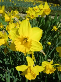 Large Cupped Narcissus 'California'