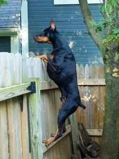 """""""Now I can see much better who is coming"""" #Doberman #dog #breed"""