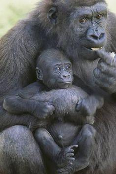 size: Photographic Print: Gorilla by DLILLC : Botanical Primates, Mammals, Gorillas In The Mist, Baby Gorillas, Cute Baby Animals, Animals And Pets, Funny Animals, Exotic Animals, Amazing Animals