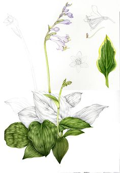 Hosta.  Lovely plant, the milky greens and clean purples are lush.  I particulalry like the longditudinal veins of the leaves; theyre visually very satisfying.