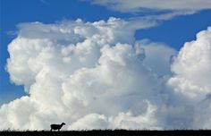 Sheep under giant white cloud, Solano County, Calif. (© Gary Crabbe/Alamy)