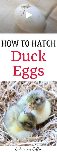 Hatching Duck Eggs in an Incubator with High Hatch Rates Raising Quail, Raising Ducks, Raising Chickens, Backyard Ducks, Chickens Backyard, Diy Incubator, Chicken Incubator, What To Feed Ducks, Hatching Duck Eggs