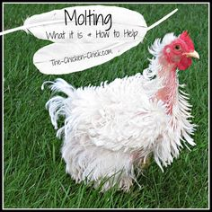 Molting is the natural shedding of old feathers and growth of new ones. Chickens molt in a predictable order beginning at the head and neck, proceeding down the back, breast, wings and tail. While molting occurs at fairly regular intervals for each chicken, it can occur at any time due to lack of water, food or sudden change in normal lighting conditions. Broody hens molt furiously after their eggs have hatched as they return to their normal eating and drinking routines.