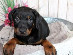Rottweiler Dog Female Black And Tan 2402557 Puppies For Sale