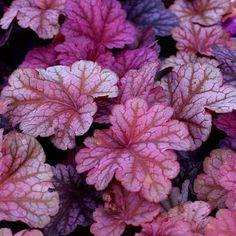 Heuchera 'Berry Smoothie  daisychainplantnursery.co.uk