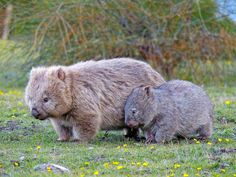 Wombat Vombatus ursinus | Wombat Vombatus ursinus, Maria Isl… | Flickr Cute Baby Animals, Animals And Pets, Funny Animals, Mundo Animal, My Animal, Sean Parker, Tier Fotos, Poodles, Exotic Pets