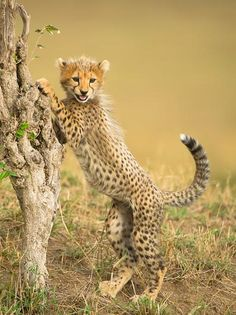 A young cheetah explores its surroundings, practicing an elevation technique that will help it to hunt in the future.