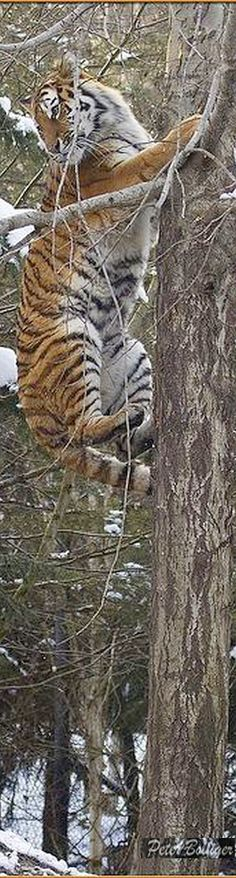 The tree climber - Amur tiger Animals Images, Animals And Pets, Animal Pictures, Cute Animals, Tiger Species, Big Cat Family, Cat Climbing Tree, Alley Cat, Jungle Animals