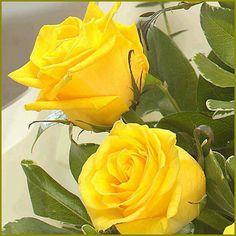 26 Mejores Imágenes De Rosas Amarillas Yellow Roses Yellow Y