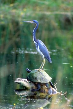 Tricolored heron standing on red bellied turtle.or no one's going anywhere fast..