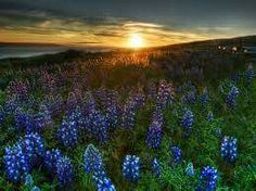 Texas sunset and Bluebonnets