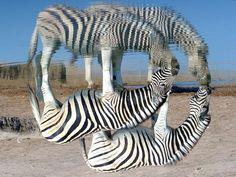 zebras by John Kok
