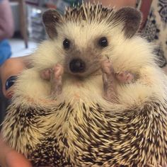 Gary the hedgehog