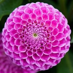 Dahlia 'Franz Kafka', early September. Succulents, Floral, Pretty, Nature, Flowers, Image, September, Patterns, Colors
