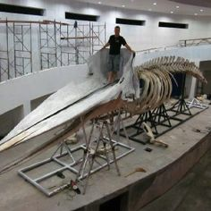 48 Foot Whale Skeleton