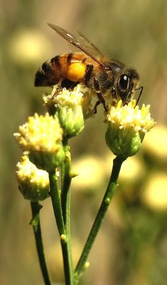 """If the bees disappeared off the face of the earth, man would only have 4 years left to live."" ― Albert Einstein."