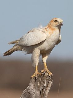 Leucistic Red-Tailed Hawk (Buteo jamaicensis). Leucism is not albinism. photo: Jason Penney.