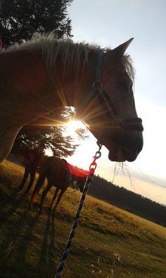 #horse #horseriding #head #sunset #sunrise #sun #shine #gold #golden #summer #2016 #2015 #perfection #pony #trail #mountains #vosges #champdufeu #cheval #haflinger