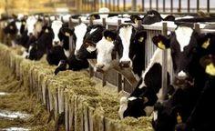 Στα 171,8 € ανά επιλέξιμο θηλυκό βοοειδές η συνδεδεμένη ενίσχυσης του βόειου κρέατος