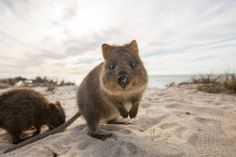 "The quokka has been nicknamed ""the happiest animal in the world""...and it's easy to see where this name came from when you check out this album of photos by Dixon Down Under"