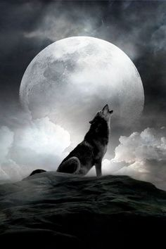 """The Wolf and The Full Moon ! """"call of the wild"""" . Wolf Love, Beautiful Wolves, Beautiful Moon, Wolf Spirit, My Spirit Animal, Beautiful Creatures, Animals Beautiful, Howl At The Moon, Wolf Wallpaper"""