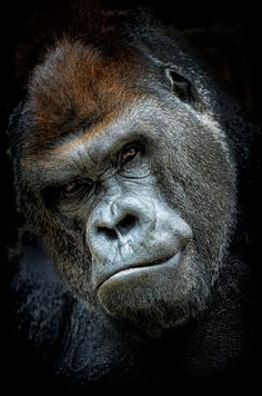 Gorila Espalda Plateada. Haz clic en la foto para verla mejor Silverback Gorilla. Click on the picture for a better view