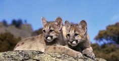 No Hunting Quota Increases for Washington Cougars