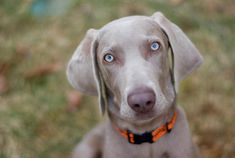 Weimaraner: A Guide to This Sneaky and Smart Breed Smartest Dog Breeds, Pet Breeds, Blue Eyed Dog, Dog List, Love Dogs, Medium Dogs, Dog Behavior, Pets, Dog Training