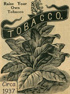 Bafra is a Turkish tobacco often used in pipe tobacco blends and cigarettes. Columnar plant growing to 5 feet. Matures in 50 days. Cures a medium brown. Has a very low nicotine content.
