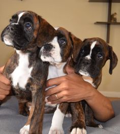 What a beautiful armful. I've always said a home is better with two boxers in it; maybe will revise that to three or four or ......