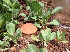 Ollas: Clay Pots For Easy Garden Irrigation And Water Conservation
