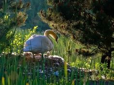 swan swan hummingbird