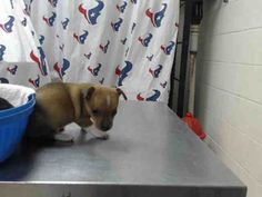 This DOG - ID#A468987 - URGENT - Harris County Animal Shelter in Houston, Texas - ADOPT OR FOSTER - 9 WEEK OLD Female Chihuahua - at the shelter since Sep 24, 2016.