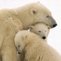 Momma and baby polar bears ❤️ Animals And Pets, Baby Animals, Funny Animals, Cute Animals, Wild Animals, Baby Giraffes, Nature Animals, Beautiful Creatures, Animals Beautiful