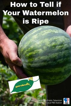 GardenRx: How to Tell if Your Watermelon is Ripe / PBS-TV's Garden Rx starring Loren Nancarrow reveals how to know when your watermelon is ripe and ready to pick.  #gardenrx #cuprockdiy #gardening