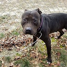 Pictures of Glock a Pit Bull Terrier for adoption in Henderson, NC who needs a loving home.