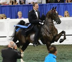 The American Saddlebred mare, Wild Wind, is a member of the Broodmare Hall of Fame. Thoroughbred Horse, Appaloosa Horses, All The Pretty Horses, Beautiful Horses, Horse Coat Colors, My Champion, American Saddlebred, All About Horses, Majestic Horse