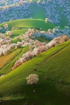 """""""An early-morning walk is a blessing for the whole day.""""~ Henry David ThoreauChinese country side abloom in fruit trees.    Looks like an Eyvind Earle painting!"""
